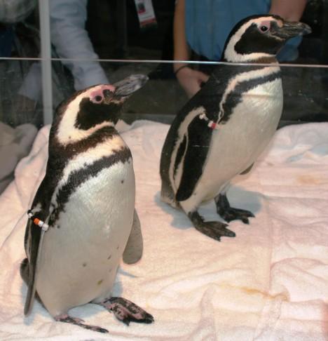 dos penguinos